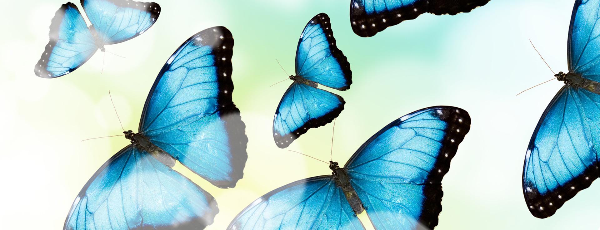 Papillons bleus de l'Institut Krysalide de Nyon